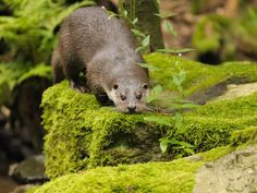 River Otter, Bavarian Forest, Germany. WEBSHOTS