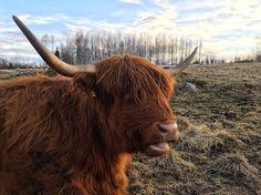 Highland Cattle Cow #highlandcattle #highlandcow #cow #cows #cattle #cowsofinstagram #牛 #nature #pasture #finland #landscape #horns #farmlife #countrylife #Farm #countryside #rural #lehmä #countrylifestyle1 #leppävirta #ylämaankarja #ig_countryside #ig_highlandcows #pocket_farms #lifeonthefarm #farmanimals