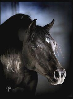 Royality,,,Black Arabian Stallion  #horses