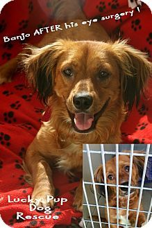 san diego, CA - Spaniel (Unknown Type)/Dachshund Mix. Meet Banjo, a dog for adoption. http://www.adoptapet.com/pet/12753998-san-diego-california-spaniel-unknown-type-mix