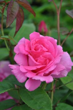 I have this rose and it is beautiful ~Climbing Bourbon Rose: Rosa 'Zéphirine Drouhin' (France, 1868)