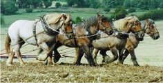 ardennes horses and heavy horses - Google Search