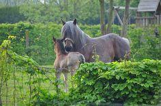 Brabantse merrie met hengsteveulen by zosti, via Flickr