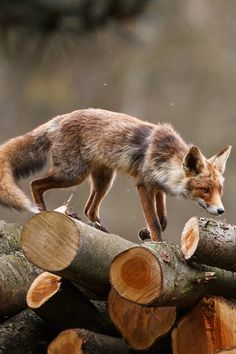 Red fox - what a beauty!