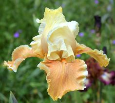 TB Iris germanica 'English Charm' (Blyth, 1989)