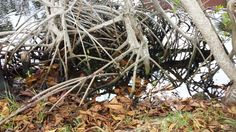 The root system of a mangrove tree