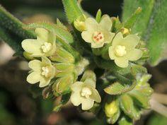 Anchusa ochroleuca - Yellow Alkanet