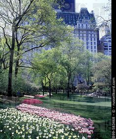 Spring tulip flowers, Plaza hotel, Central park, Manhattan, New York, USA. B99-583468 © russellkord.com