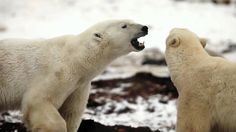 A land of crystalline beauty and stark landscapes on top of the world, the Arctic is home to polar bears, foxes, and beluga whales. Arctic Polar Bears, Baby Polar Bears, Polar Bears International, Second Baby, Bear Cubs, Science For Kids, Animal Kingdom, Beast, Wildlife