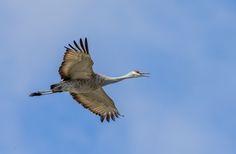 2015-04-11 Sandhill Crane in Portland Oregon USA. More birds: http://timohavimo.1g.fi
