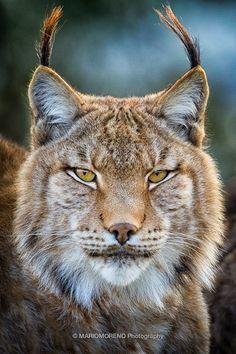 Lynx Portrait     Eurasian Lynx (Lynx lynx) at Cabarceno Nature Park in Cantabria, Spain.     By Mario Moreno Photography