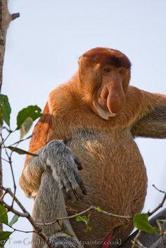 Adult male proboscis monkey feeding on mangroves in Bako National Park, Sarawak, Borneo