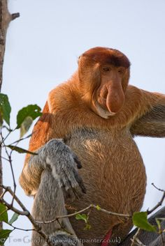 Adult male proboscis monkey feeding on mangroves in Bako National Park, Sarawak, Borneo