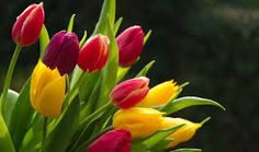 Tulips are one of the easiest flowers to grow successfully in the garden. Plant bulbs in the fall and even a novice gardener can expect to see beautiful flowers in the spring! Tulips Garden, Tulips Flowers, Planting Flowers, Yellow Tulips, Flower Images Wallpapers, Beautiful Flowers Wallpapers, Best Flower Wallpaper, Spring Flowers Wallpaper, Hd Wallpaper