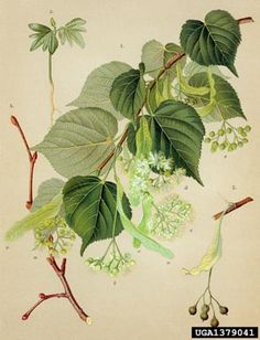Image 1379041 is of littleleaf linden (Tilia cordata ) plant(s). It is by Zelimir Borzan at University of Zagreb. Motif Floral, Arte Floral, Botanical Drawings, Botanical Prints, Linden Leaf, Pictures Of Insects, Nature Illustration, Painted Leaves, Fauna