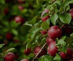 Best Fruits To Grow In Texas - North Texas Fruits Trees Cherry Tree Varieties, Pear Varieties, Growing Grapes, Growing Tree, How To Store Apples, Grafting Fruit Trees, Plums And Peaches, Fruit Bearing Trees, Peach Trees