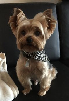Find Out More On The Affectionate Yorkshire Terrier Exercise Needs Yorkies, Cute Puppies, Dogs And Puppies, Yorkie Cuts, Yorkie Haircuts, Puppy Cut, Silky Terrier, Yorkshire Terrier Puppies, Yorkie Puppy