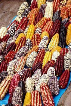 LUNA VERDE: EL MAÍZ PERUANO Corn Vegetable, Vegetable Animals, Rainbow Corn, Rainbow Fruit, Fruit And Veg, Fruits And Vegetables, Yellow Corn, Yellow Maize, Popcorn Seeds