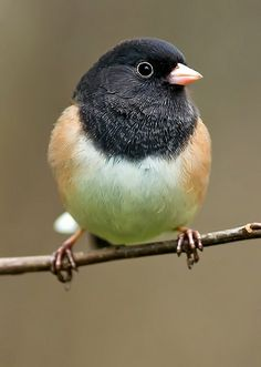 Dark-eyed Junco, Oregon variant. The sweetest little things, we have these birds in our yard, we always take the binoculars and watch them.