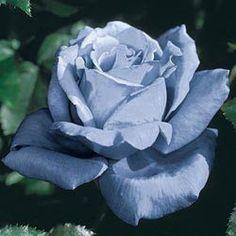 Rose Plants - Blue Girl Hybrid Tea Rose