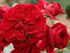 Bildergebnis für rose rotkäppchen