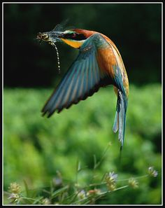 Bee-eater and dragonfly