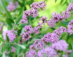 Schmalblättriger Sommerflieder • Buddleja alternifolia • Hängesommerflieder • Pflanzen & Blumen • 99Roots.com