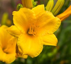 This evergreen version of the award-winning Stella de Oro Daylily is an early bloomer and re-blooms. Fragrant golden-yellow trumpet flowers rise above a dense clump of grassy green foliage.