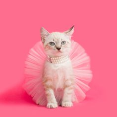 Sometimes you just need to put a tutu and some pearls on to handle the day! I mean it is Friday so why not?   We loved how sweet this little kitten looks in her fancy outfit. How are you starting your weekend off? Hopefully with a tutu on! Cat Dresses, Most Beautiful Models, Little Kittens, Commercial Photography, Lifestyle Photography, Instagram Feed, Photoshoot, Fancy, Puppies