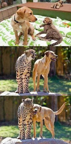 Best Friends ❤️ dog and big cat