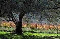 Олива и виноградник