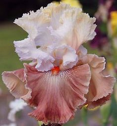Tall Bearded Iris Flowers | TALL BEARDED IRIS 'Champagne and Strawberries' Big flowers. Drought ...