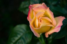 View top-quality stock photos of Blooming Rose. Find premium, high-resolution stock photography at Getty Images. Spells That Really Work, Real Love Spells, Beauty Spells, Best Psychics, Money Magic, Witch Doctor, Photo Grouping, Rose Pictures, Strong Marriage