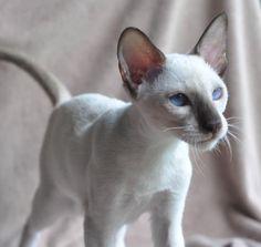 Siamese Oriental Kittens ACFA CFA /...Chocolate Point Kitten.