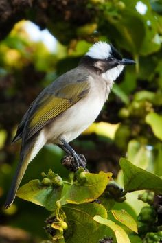 chinese bulbul. There are many species of Bulbul birds, which are short-necked slender passerines. The tails are long and the wings short and rounded. In almost all species the bill is slightly elongated and slightly hooked at the end.