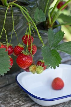Strawberry plant Strawberry Plants, Grow Your Own, Strawberries, Make It Simple, Fruit, Easy, Recipes, Food, Strawberry Fruit