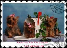 Morkie Puppies for Sale. See the Best Teacup Morkies. Beautiful Designer Mixed Breed Puppies for Sale. See the Best Teacup Puppies. Teacup Maltese For Sale, Teacup Morkie, Micro Teacup Yorkie, Cute Teacup Puppies, Chihuahua Puppies For Sale, Super Cute Puppies, Tiny Puppies, Terrier Puppies, Baby Yorkie