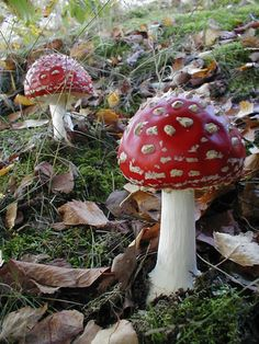 c118bf7435cc 88 Best Mushrooms and Gnomes images