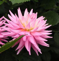 Dahlia 'NTAC Patricia': cactus
