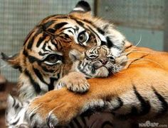 TIGER AND CUB - Tigers Photo (11424015) - Fanpop