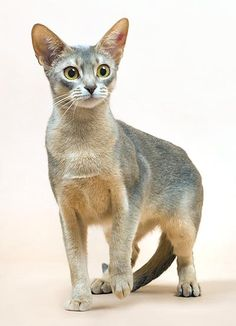 Looks like my cat got a dye job :) Abyssinian - Blue.