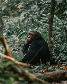 Kyambura sits in the far east sector of Uganda's Queen Elizabeth National Park, and it's often called the Valley of the Apes. The gorge is home to the only chimpanzees in this part of the country. An armed ranger leads two small trips a day to track the wild primates in the gorge, and the coveted permits are $50 per person. #chimpanzee #uganda #safari #africa