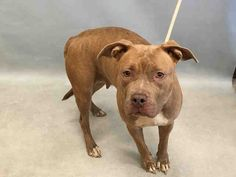 SYLVIA- #A1088884 - Urgent Manhattan - FEMALE TAN/WHITE AM PIT BULL TER MIX, 2 Yrs - STRAY - NO HOLD Reason STRAY - Intake 09/07/16 Due Out 09/10/16
