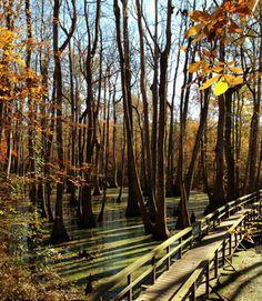 Title: Cypress Swamp Photographer: Jennifer Champney Date Photo Taken: November 2013 Bald Cypress Tree, Cypress Swamp, Cypress Trees, Natchez Trace, Photo Contest, Hiking Trails, Paths, Bridges, Mississippi
