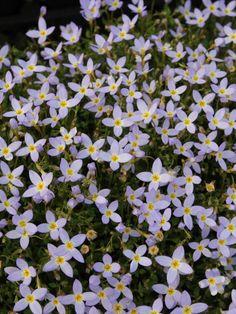 Houstonia caerulea 'Millard' (Porzellansternchen)