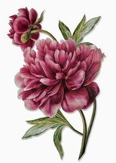I love the layout of these 2 peonies, might want something similar for my tattoo. I like these petals as well, but the color is a bit too dark. PaperWhimsy :: Hybrid Images-Digital Artists :: View All :: Botanique 14 PNG Vintage Botanical Prints, Botanical Drawings, Botanical Flowers, Botanical Art, Flower Prints, Flower Art, Peony Flower, Flower Ideas, Impressions Botaniques