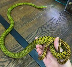 Les Reptiles, Cute Reptiles, Reptiles And Amphibians, Pretty Snakes, Beautiful Snakes, Terrarium Reptile, Terrariums, Beautiful Creatures, Animals Beautiful
