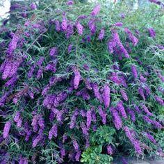 Butterfly Bush Black Night, Buddleia davidii - Spring Perennials from American Meadows