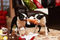 Two Bostons fighting over Christmas toys :)