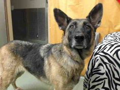 UPDATE: RESCUED!!!!!!!!!!!!!!!!!! 09/05 #URGENT <3 #GermanShepherd #A571691 <3 female, black/tan 5 years old. #DevoreShelter #IMPORTANT! To ADOPT or RESCUE - CALL at 9AM SHARP (909)386-9820 ext 0. KEEP trying if line is BUSY or on hold, ASAP!! ASAP EMAIL NOW, BOTH Supervisors dsmith@dph.sbcounty.gov & kpapp@dph.sbcounty.gov https://www.facebook.com/photo.php?fbid=508292509255752=a.407457879339216.97606.118795328205474=1